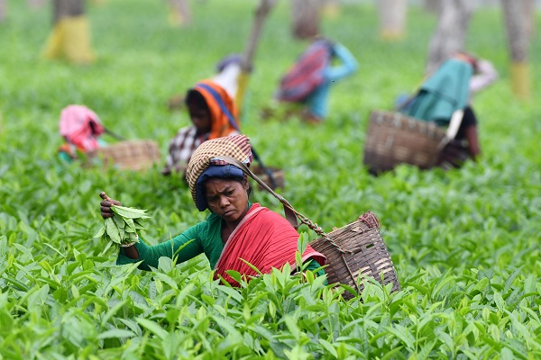 Buyers from Germany, Britain, the US and Iran are active in the Assam market and higher prices are believed to have been paid in private sales (Photo: BIJU BORO/AFP/Getty Images).