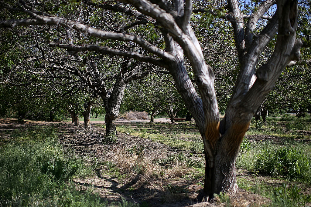 Walnut trees stand in an orchard in Yuba City, California.  (Photo by Justin Sullivan/Getty Images)