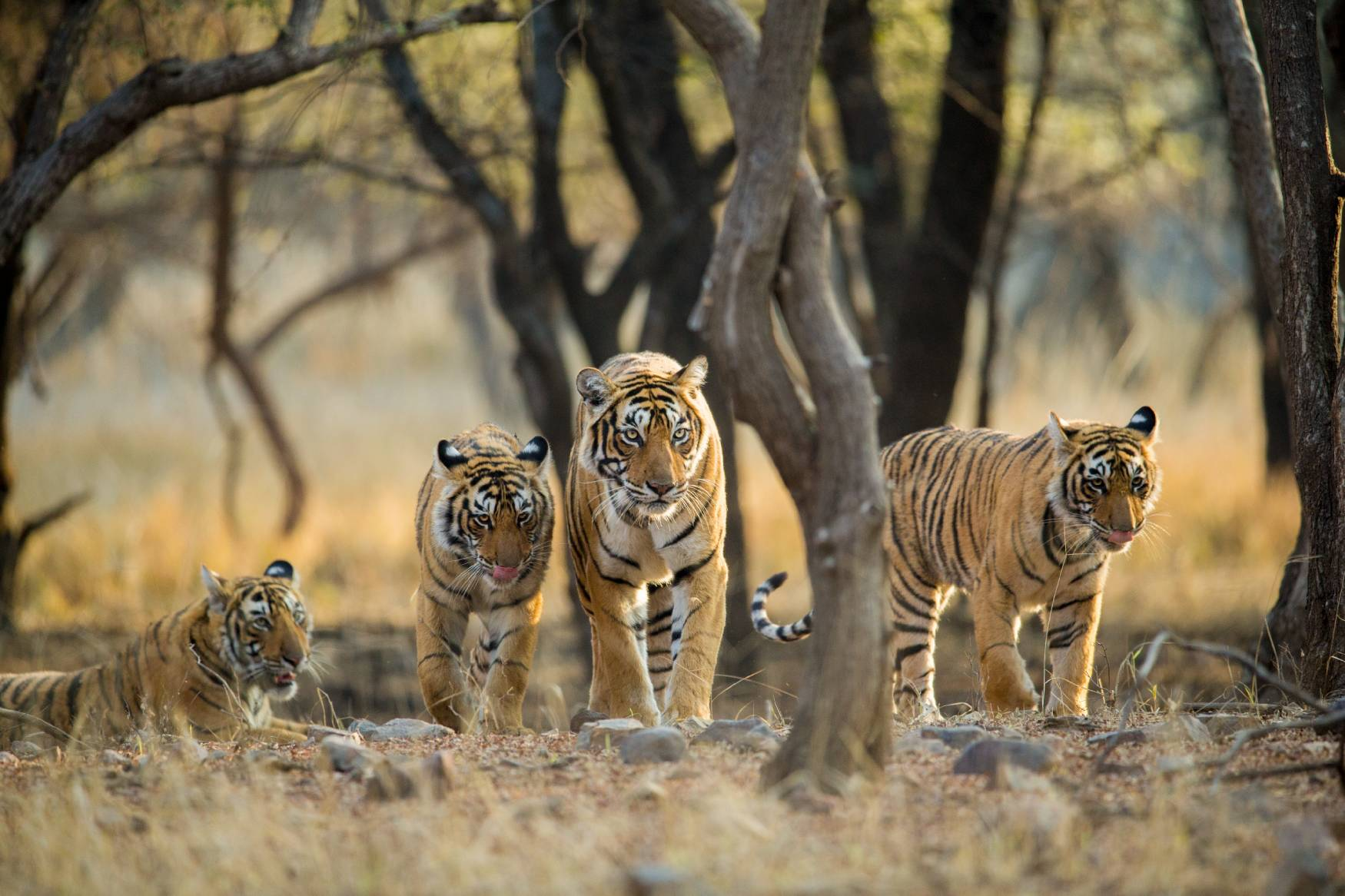 A tigress and its three cubs were poisoned by farmers in Mhadhei Wildlife Sanctuary for killing their cattle, it has been confirmed