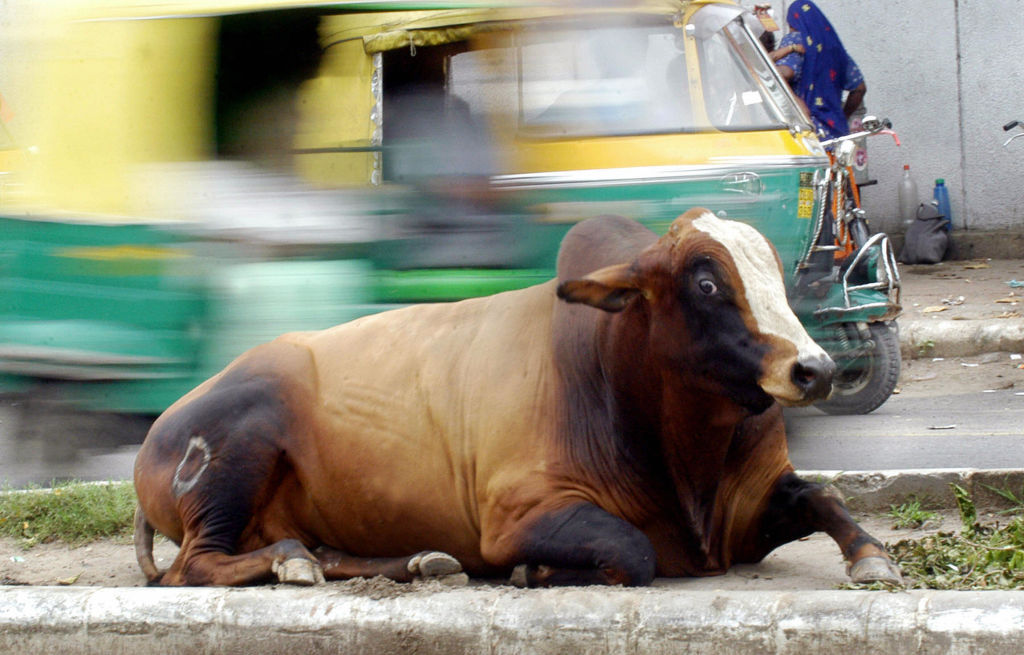 FILE PHOTO: A stray cow sits on a road divider in New Delhi, India. (MANAN VATSYAYANA/AFP via Getty Images)