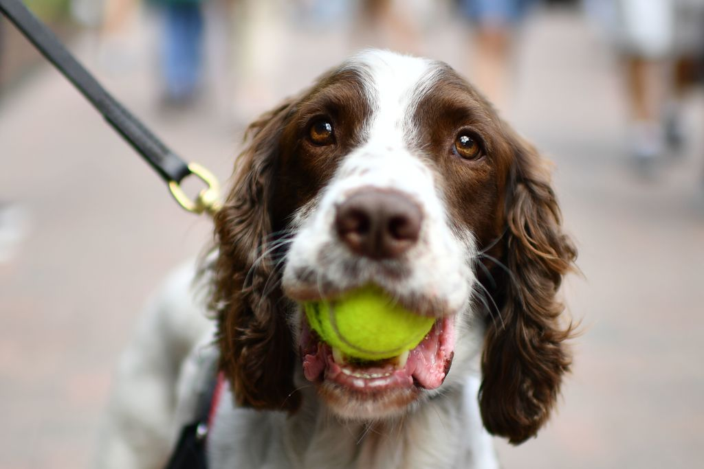 File photo: A police dog carries a tennis ball in his mouth at The All England Tennis Club in Wimbledon. (DANIEL LEAL-OLIVAS/AFP via Getty Images)