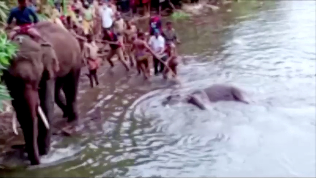 People pull the body of a dead pregnant elephant out of the water, after the animal was allegedly fed with firecracker-stuffed pineapple and died, in Malappuram, India, May 27, 2020 in this still image taken from a video. ANI/Reuters TV via REUTERS