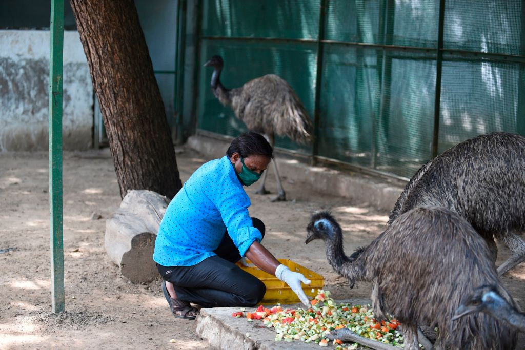 A worker feeds emu birds inside an enclosure at the closed Kamla Nehru Zoological Garden during a government-imposed nationwide lockdown as a preventive measure against the spread of the COVID-19 coronavirus, in Ahmedabad on June 28, 2020. (Photo by SAM PANTHAKY/AFP via Getty Images)