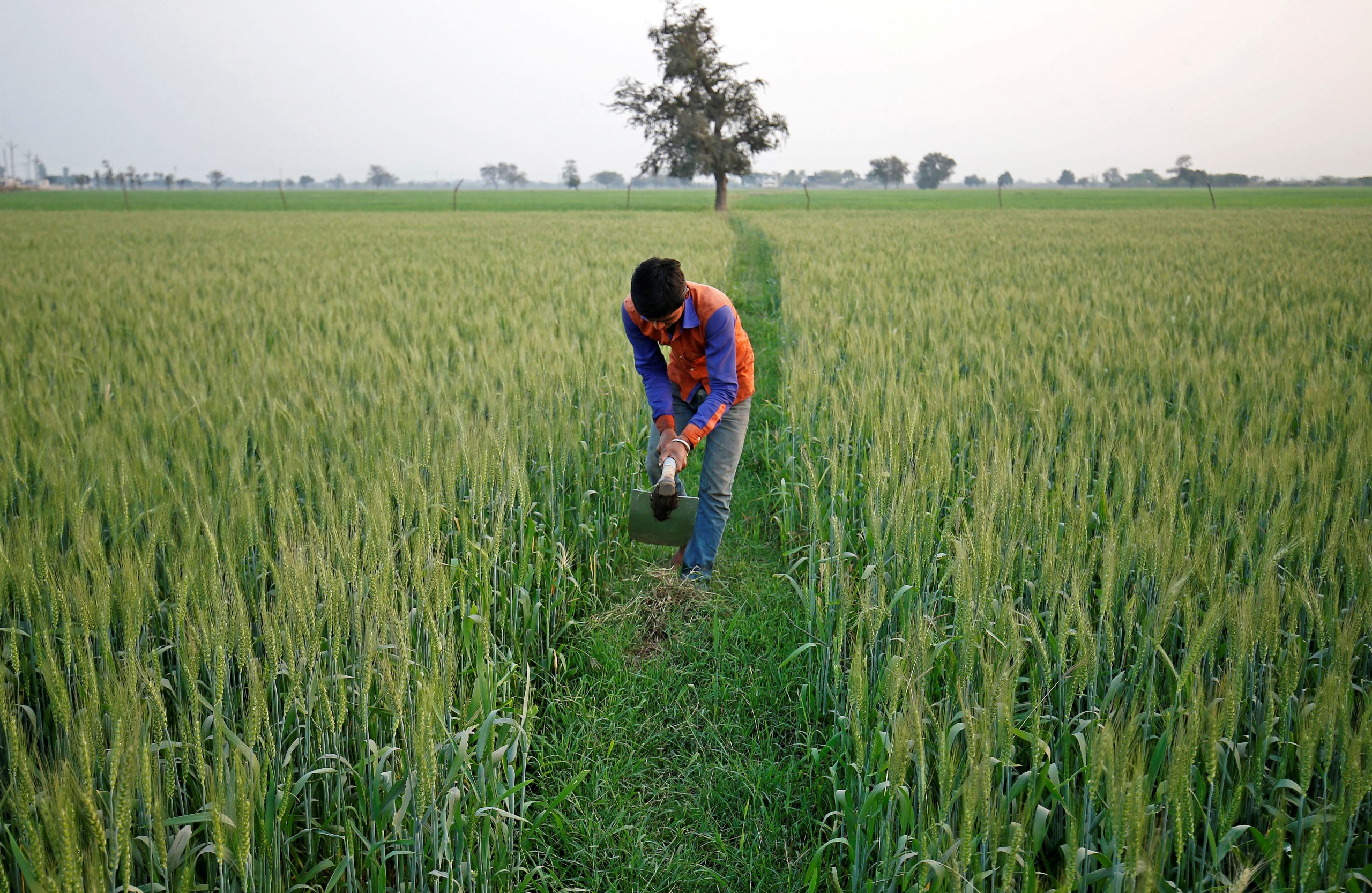 FILE PHOTO: A farmer works in wheat field on the outskirts of Ahmedabad, India February 1, 2018. REUTERS/Amit Dave/File Photo