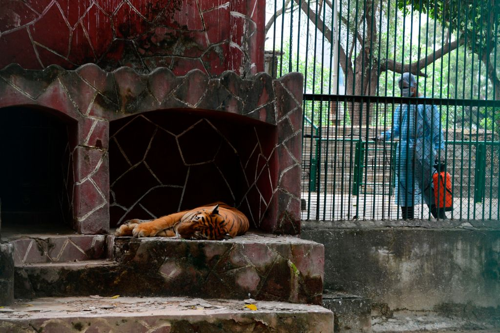 A Royal Bengal tiger rests as a health worker wearing Personal Protective Equipments (PPE) suit (R) sprays disinfectants at the Kamla Nehru Zoological Garden in Ahmedabad on September 11, 2020. (Photo by SAM PANTHAKY/AFP via Getty Images)