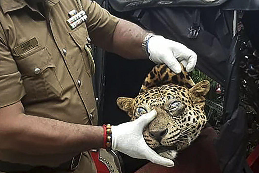 A Sri Lankan police Chief Inspector holds the severed head of a leopard who was entrapped in a snare and killed, in Ududumbara some 50 kms from the city of Kandy in central Sri Lanka on September 25, 2020.  (Photo by -/AFP via Getty Images)