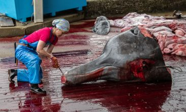HEADLINE STORY - FILE PHOTO: A fisher slices the beak of a newly-caught 10.5 metre Baird's Beaked Whale as it is slaughtered on July 21, 2020 in Wada Port, Chiba, Japan. (Photo by Carl Court/Getty Images)