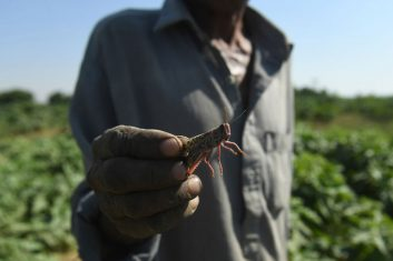 INDIA - FILE PHOTO: A farmer holds a locust at a feild in the Pakistan's port city of Karachi. (Photo by ASIF HASSAN/AFP via Getty Images)