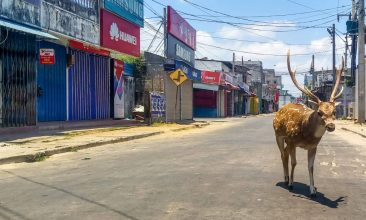 Coronavirus - A wild deer, from a herd used to mingle with and be fed by the local population, roams in a deserted street during a government-imposed nationwide lockdown against the COVID-19 coronavirus, in the port city of Trincomalee on March 31, 2020. (Photo by STR/AFP via Getty Images)